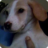 Adopt A Pet :: Enchant - Salem, MA