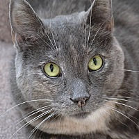 Domestic Shorthair Cat for adoption in Independence, Missouri - Moeshe