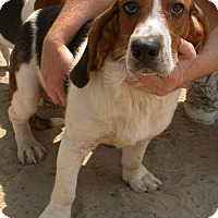 Beagle/Basset Hound Mix Dog for adoption in Seguin, Texas - Rocco