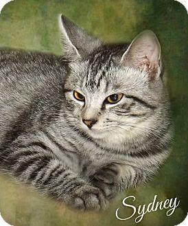 Domestic Shorthair Kitten for adoption in McEwen, Tennessee - Sydney