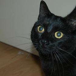 Photo 1 - Domestic Shorthair Cat for adoption in San Jose, California - Susie