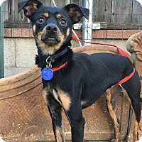 Miniature Pinscher Mix Dog for adoption in Santa Ana, California - Jagger