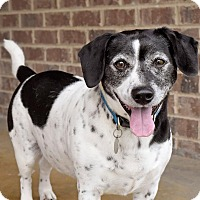 Spaniel (Unknown Type)/Terrier (Unknown Type, Medium) Mix Dog for adoption in Knoxville, Tennessee - Russell