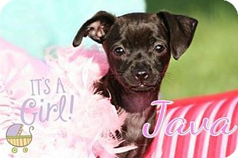 Chihuahua/Rat Terrier Mix Puppy for adoption in Marion, Kentucky - Java * Adoption Pending*
