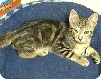 Bengal Kitten for adoption in Staten Island, New York - Jericho