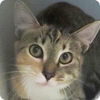 Domestic Shorthair Kitten for adoption in Lincolnton, North Carolina - Caroline $20