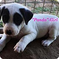 Adopt A Pet :: Cherokee's Babies - Girls - Quinlan, TX