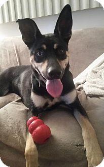Doberman Pinscher Mix Dog for adoption in Livonia, Michigan - Quil-ADOPTION PENDING