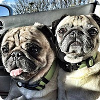 Pug Dog for adoption in Inver Grove, Minnesota - Xena & Zeus(PENDING)