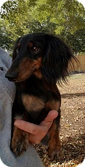 Dachshund Dog for adoption in Helotes, Texas - Little Bear
