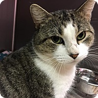 Domestic Shorthair Cat for adoption in Colonial Heights animal shelter, Virginia - St. Nick