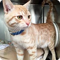 Adopt A Pet :: Jordon - North Las Vegas, NV
