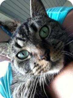 Domestic Shorthair Cat for adoption in Fairborn, Ohio - Cookie