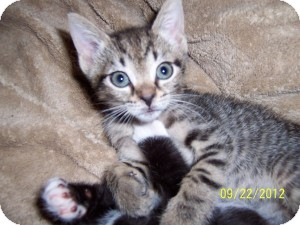 Domestic Shorthair Kitten for adoption in Island Park, New York - Teddy