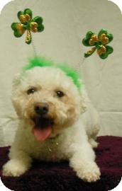 Bichon Frise Mix Dog for adoption in Gary, Indiana - Agapi