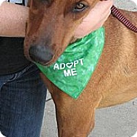 Adopt A Pet :: Scrappy - Arlington, TX
