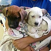 Adopt A Pet :: Maddie - Brewster, NY