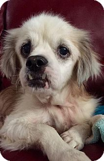 Shih Tzu/Cocker Spaniel Mix Dog for adoption in Tampa, Florida - SONNY GEORGE (T&D KW)
