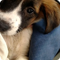 Adopt A Pet :: Kona - Charlemont, MA