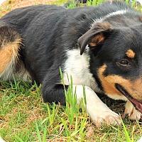 Adopt A Pet :: Archie - Lincolnton, NC