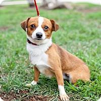 Adopt A Pet :: Gingersnap - San Diego, CA