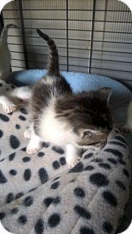 Domestic Shorthair Kitten for adoption in millville, New Jersey - c-ya