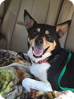 Terrier (Unknown Type, Medium) Mix Dog for adoption in Austin, Texas - Champ