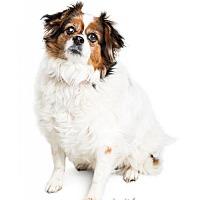Adopt A Pet :: Nicollette - Tempe, AZ