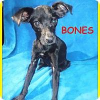 Adopt A Pet :: Bones - Batesville, AR