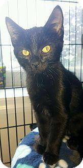 Domestic Shorthair Kitten for adoption in Jeannette, Pennsylvania - Batman