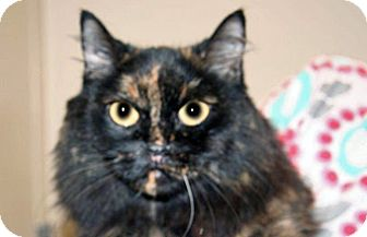 Domestic Mediumhair Cat for adoption in Wildomar, California - Candy