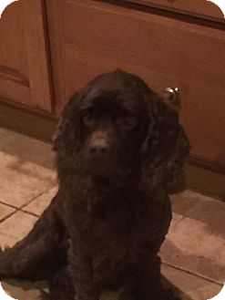 Cocker Spaniel Mix Dog for adoption in Charlotte, North Carolina - Buddy