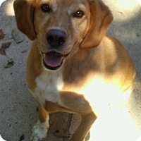 Adopt A Pet :: Beau - Bonner Springs, KS