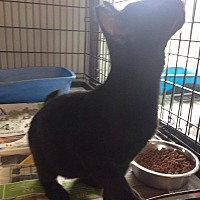 Domestic Shorthair Kitten for adoption in Jefferson, North Carolina - Marie