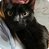 Adopt A Pet :: Nico: Stunningly Beautiful Young Bombay - Brooklyn, NY