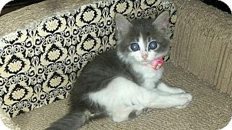 Domestic Mediumhair Kitten for adoption in Winterville, North Carolina - GRACIE