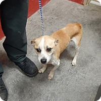 Jack Russell Terrier Mix Dog for adoption in Pikeville, Kentucky - Bud