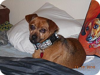 Pug/Chihuahua Mix Dog for adoption in haslet, Texas - Holliday
