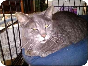 Domestic Shorthair Cat for adoption in Erie, Pennsylvania - Duvet