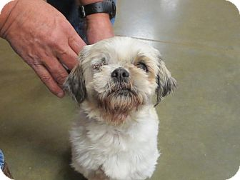 Shih Tzu Mix Dog for adoption in Ogden, Utah - Willow