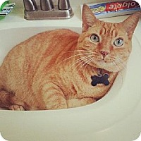 Domestic Shorthair Cat for adoption in Kenner, Louisiana - Menew