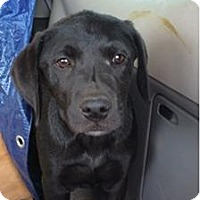 Adopt A Pet :: Sydney - Oak Brook, IL