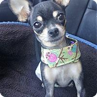 Adopt A Pet :: Annabel Lhi - AUSTIN, TX