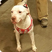 American Pit Bull Terrier Mix Dog for adoption in Alexis, North Carolina - Crystal