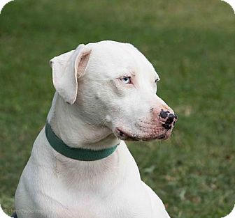 Dalmatian Mix Dog for adoption in Sarasota, Florida - Palmer