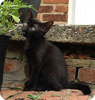 Domestic Shorthair Kitten for adoption in Gainesville, Virginia - Indigo