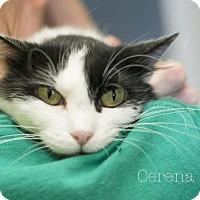 Adopt A Pet :: Cerina - West Des Moines, IA