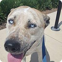 Adopt A Pet :: Paisley - Fresno, CA
