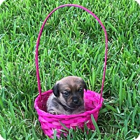 Adopt A Pet :: Teddy - Windermere, FL