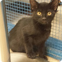 Domestic Shorthair Kitten for adoption in Holden, Missouri - Moonlight